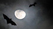 Flughunde im Mondlicht auf den Seychellen, La Digue Fruitbats at Moonrise by Frank Hoecker