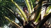 Seychellen, Calou-Ernte auf La Digue