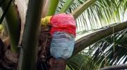 Seychellen, Calou-Gewinnung auf La Digue