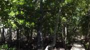 Seychellen, Praslin, Bootsausflug Curieuse, Mangrovenpfad Panorama
