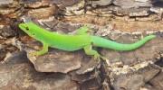 Seychellen, Grüner Taggecko