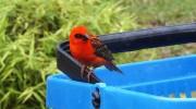 Seychellen, Kardinalvogel