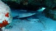 Seychellen, Praslin, Weißspitzen-Riffhaie