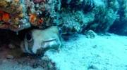 Seychellen, Praslin, Igelfisch