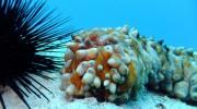 Seychellen, Praslin, Seeigel und Seegurke