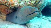 Seychellen, Praslin, Riesenmuräne