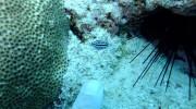 Seychellen, Praslin, Mini-Warzenschnecke