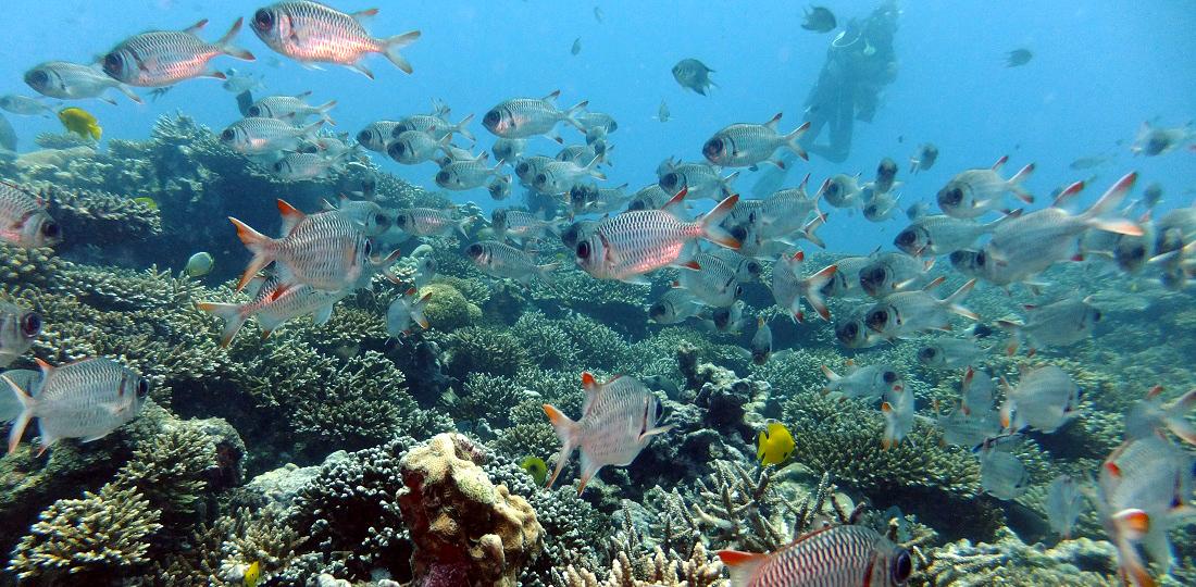 Seychellen, Tauchen und Schnorcheln, Soldatenfisch
