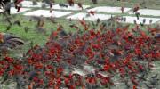 Gilliard 2015 Praslin Island Seychellen Kardinalvogel