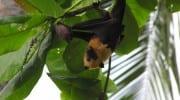 Flughund Fruitbat Seychellen